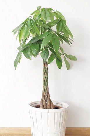 Money Tree Bonsai
